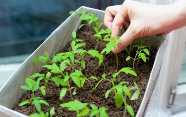 Chăm sóc cây giống cà chua