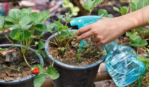 Việc sử dụng magnesium sulphate cho cây trồng