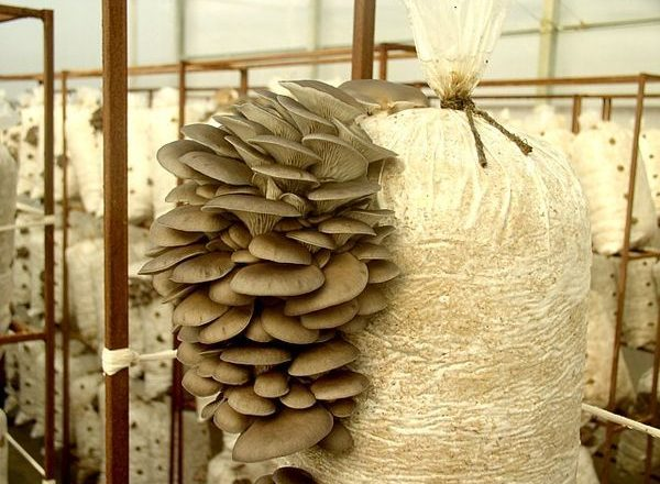 Trồng nấm sò tại nhà