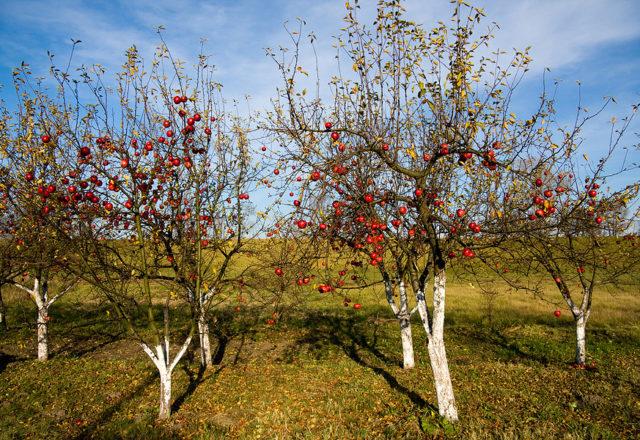 Top cây táo mặc quần áo vào mùa thu