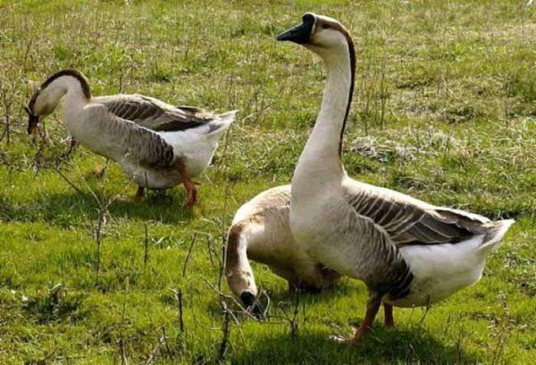 Kuban Grey Geese