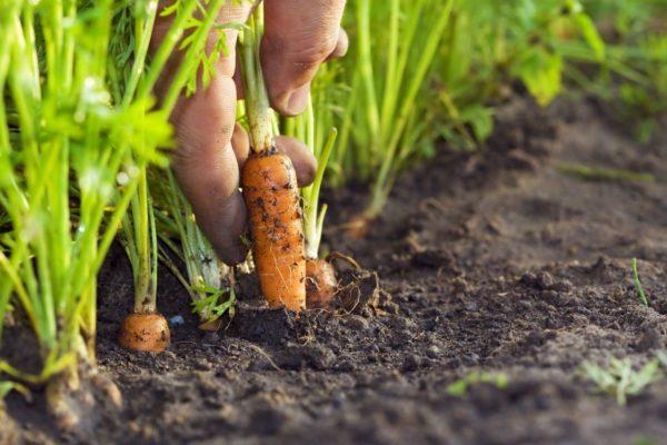 sau đó trồng cà rốt
