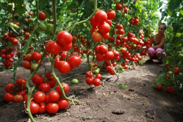Cà chua được coi là một trong những người tiền nhiệm tốt nhất cho dưa chuột.