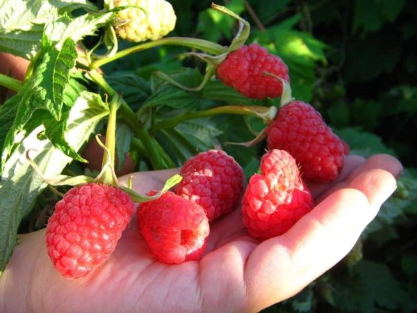 Raspberry burly