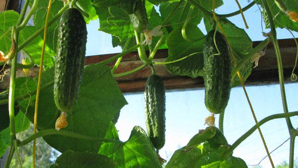 Bắp cải, hành, đậu, bắp phát triển tốt sau dưa chuột.