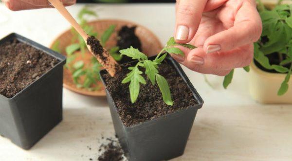 Với việc chuẩn bị đất thích hợp, cây con không cần thiết