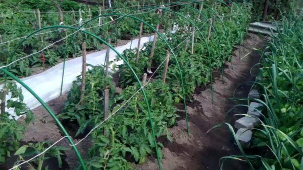 Cà chua và dâu tây