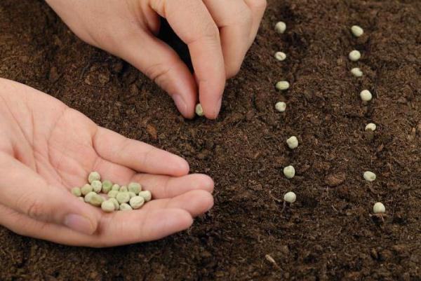 Làm thế nào để trồng đậu Hà Lan trong đất trống