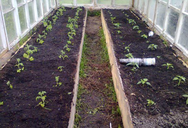khi trồng cà chua trong nhà kính ở Siberia