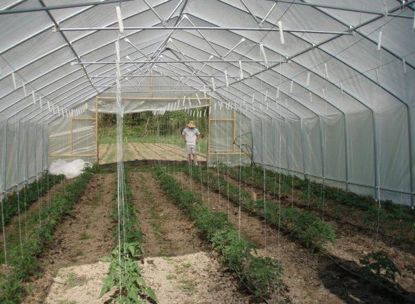 Điều khoản trồng cà chua